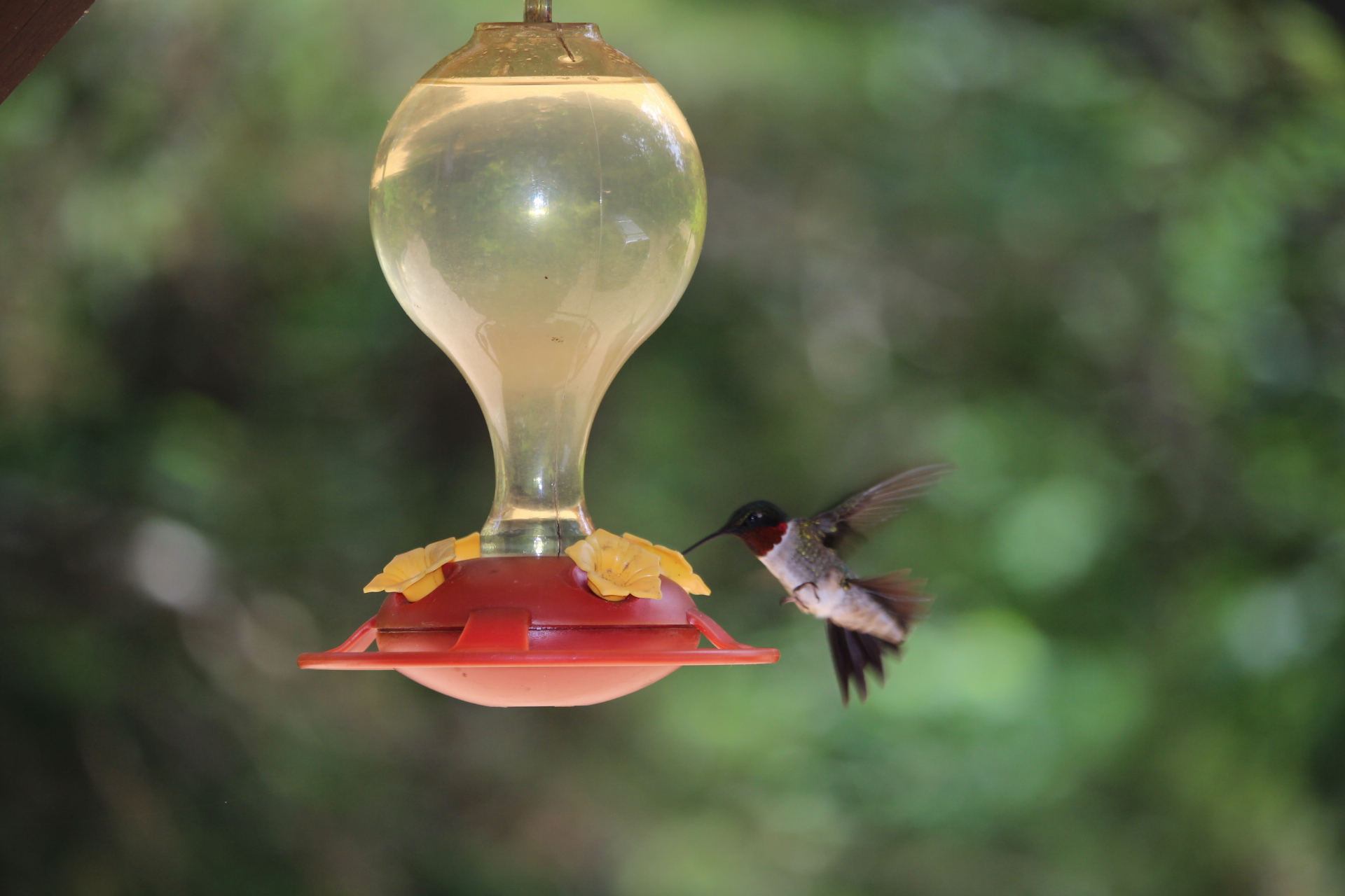 hummingbird feeder-hummingbird