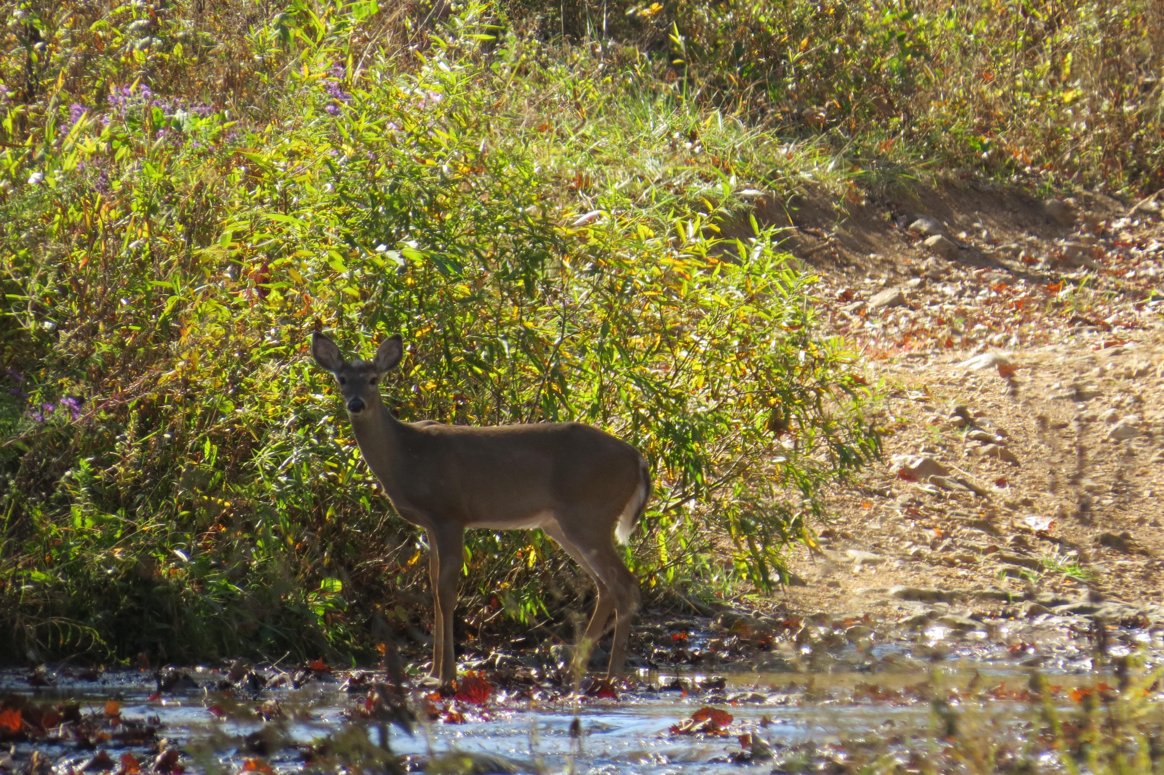 Deer close up - not full pic